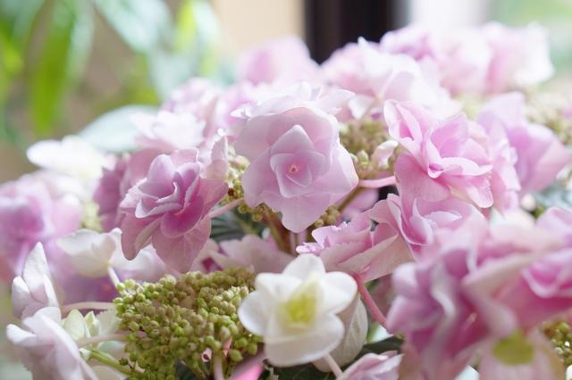 紫陽花の鉢植えを室内で育てる