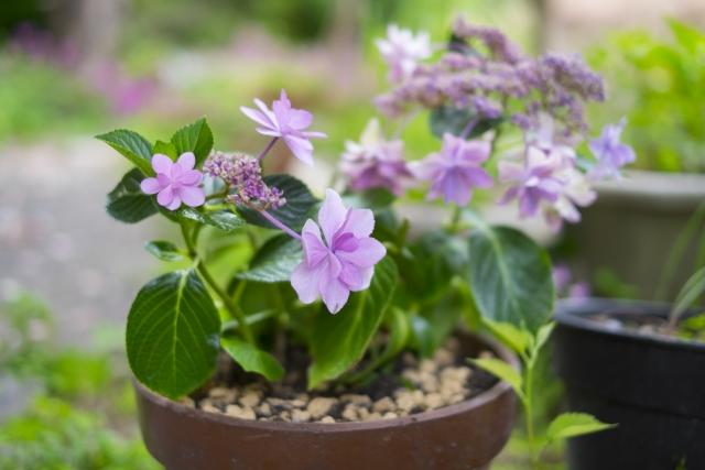 紫陽花の鉢植えを室内で育てるコツ